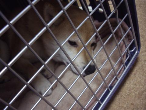 柴犬ズン画像042501
