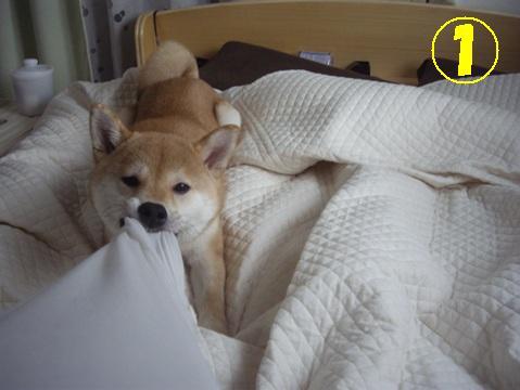 柴犬ズン画像042601