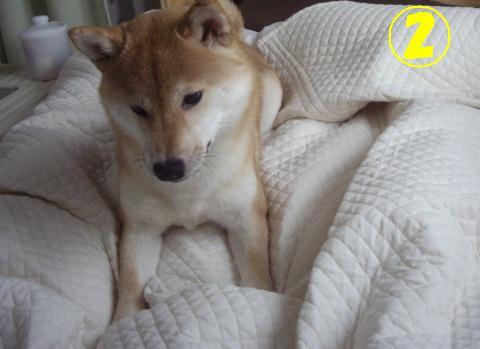 柴犬ズン画像042602