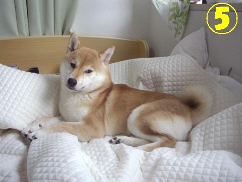 柴犬ズン画像042604