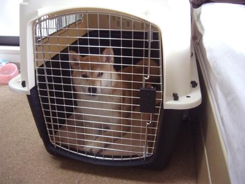 柴犬ズン画像042804