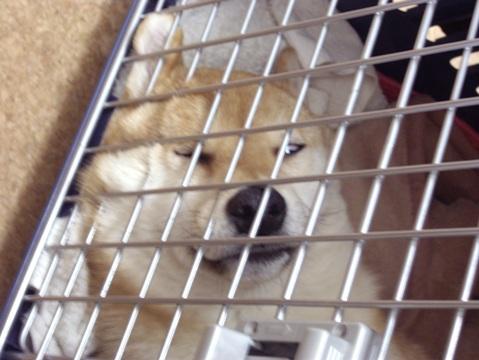 柴犬ズン画像042811