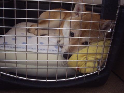 柴犬ズン画像042808