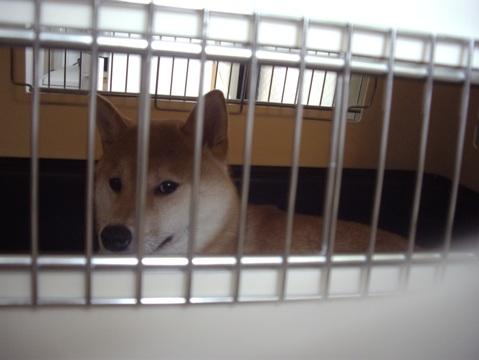 柴犬ズン画像042803