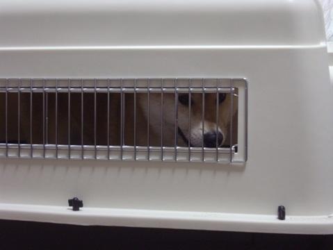 柴犬ズン画像042801