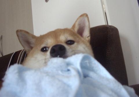 柴犬ズン画像042911