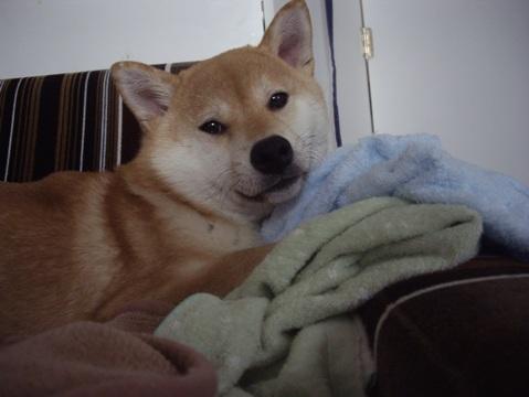 柴犬ズン画像042905