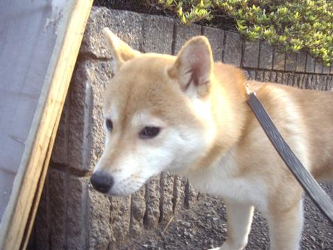 柴犬ズン画像043010