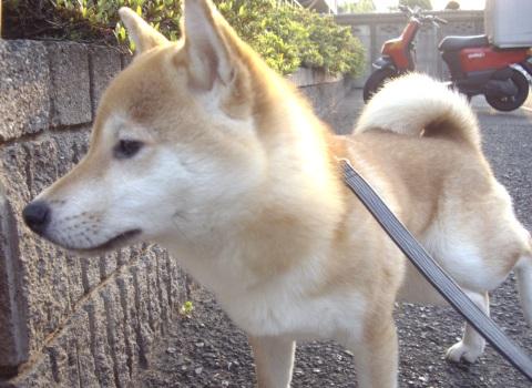 柴犬ズン画像043004
