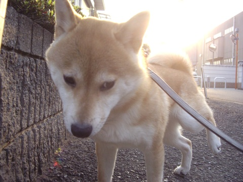 柴犬ズン画像043006