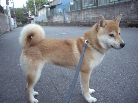 柴犬ズン画像050110