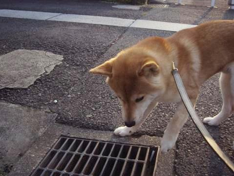柴犬ズン画像050115