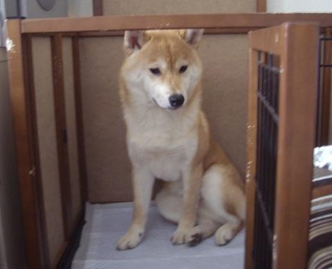 柴犬ズン画像050203