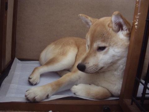 柴犬ズン画像050205