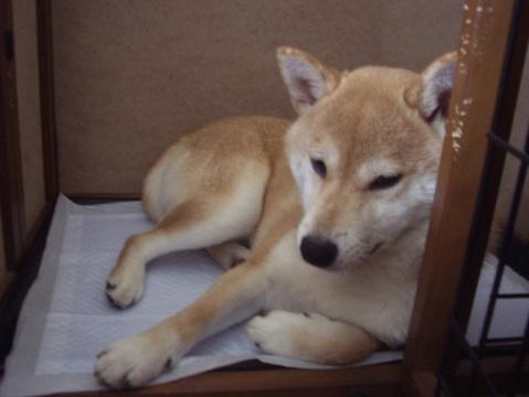 柴犬ズン画像050204
