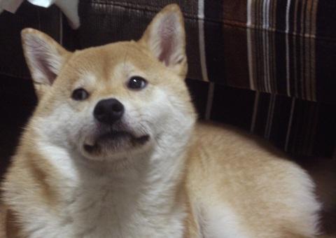柴犬ズン画像050303
