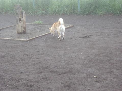 柴犬ズン画像050410