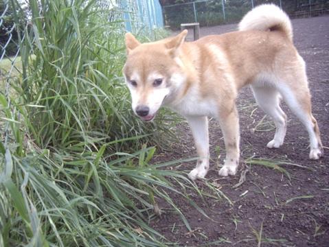 柴犬ズン画像050408