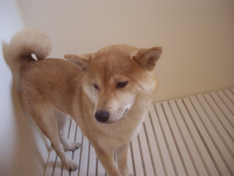 柴犬ズン画像050401