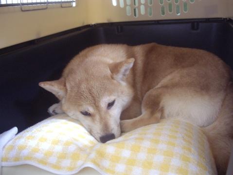 柴犬ズン画像050415