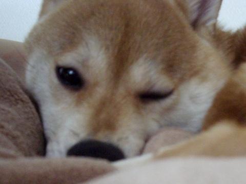 ズン画像0506柴犬ブログランキングへ