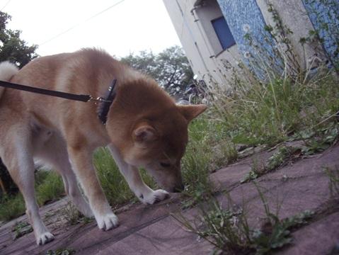 柴犬ズン画像051001