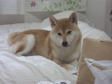 柴犬ズン画像051301