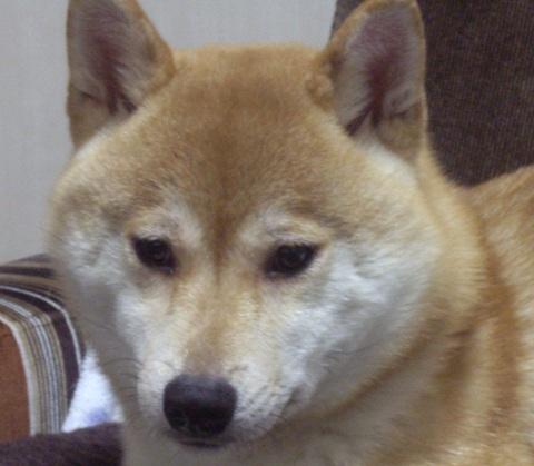 ズン画像0514柴犬ブログランキングへ