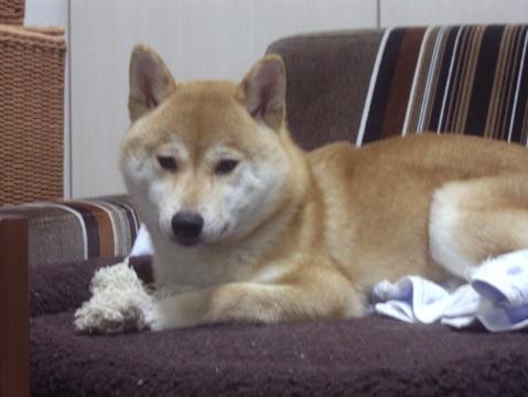 柴犬ズン画像051402