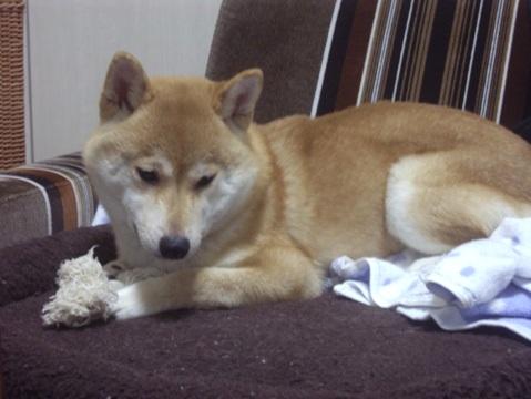 柴犬ズン画像051401