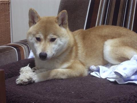 柴犬ズン画像051404