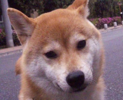 ズン画像0515柴犬ブログランキングへ
