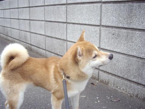 柴犬ズン画像051508