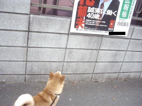 柴犬ズン画像051513