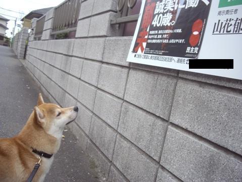 柴犬ズン画像051514