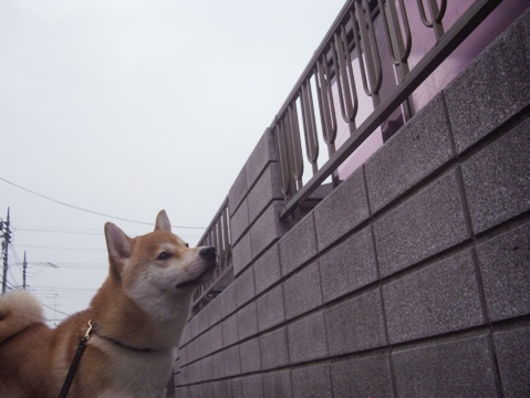 柴犬ズン画像051505