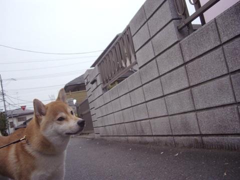 柴犬ズン画像051504