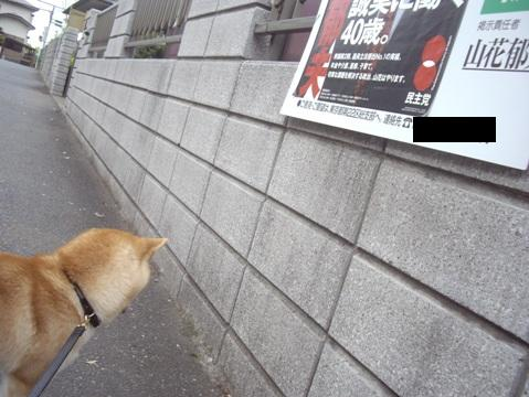 柴犬ズン画像051515