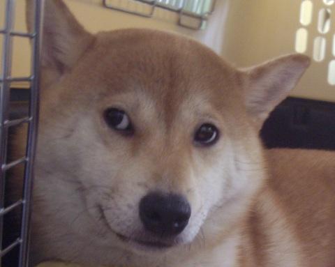 ズン画像柴犬ブログランキングへ0516