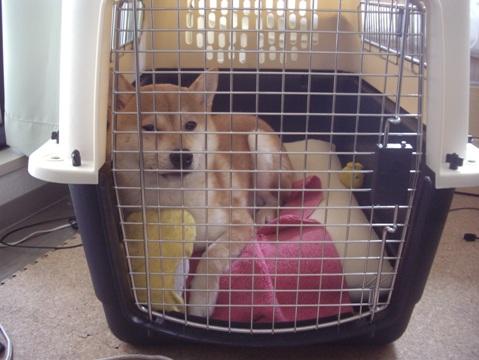 柴犬ズン画像051601