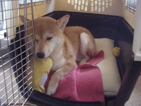 柴犬ズン画像051602