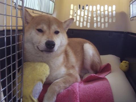 柴犬ズン画像051603