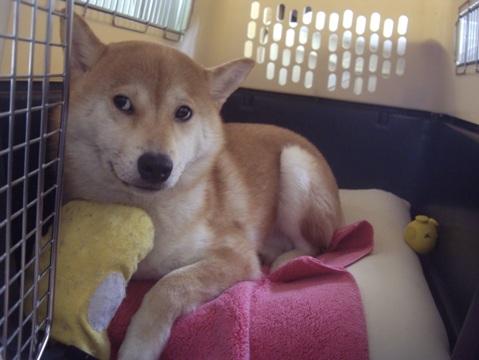 柴犬ズン画像051605