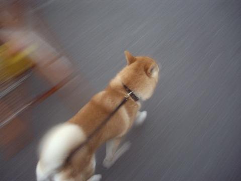 柴犬ズン画像051706