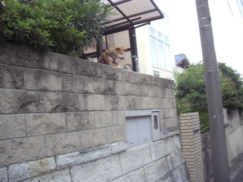 柴犬ズン画像051707