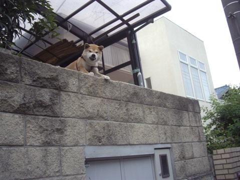 柴犬ズン画像051708