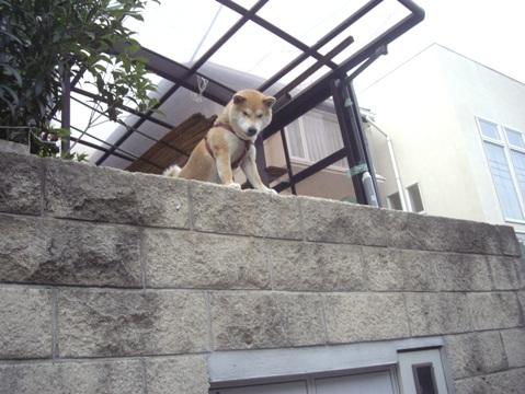 柴犬ズン画像051704