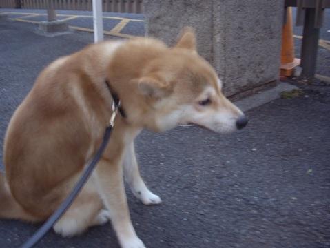 柴犬ズン画像051703