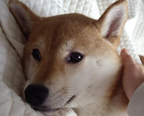 ズン画像0518柴犬ブログランキングへ