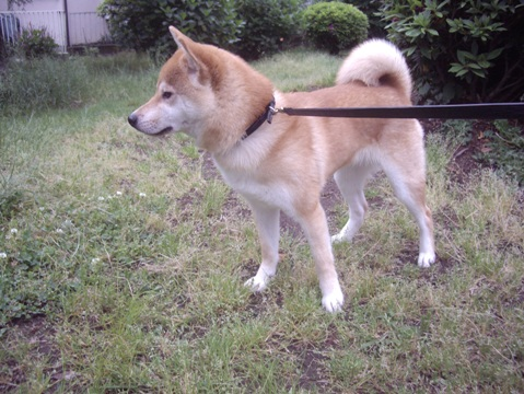 柴犬ズン画像051811